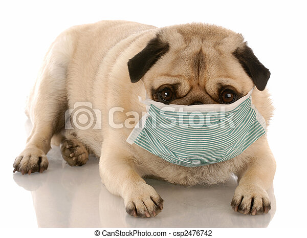 sick or contagious pug wearing a medical mask - csp2476742
