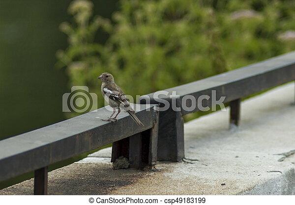 Sick sparrow bird on the fence in dam or reservoir Dushantsi at river Topolnitsa, Central Balkan mountain, Stara Planina - csp49183199