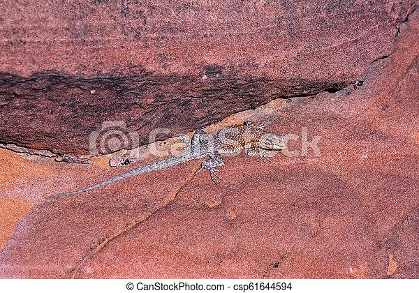 Side-blotched Lizard - csp61644594