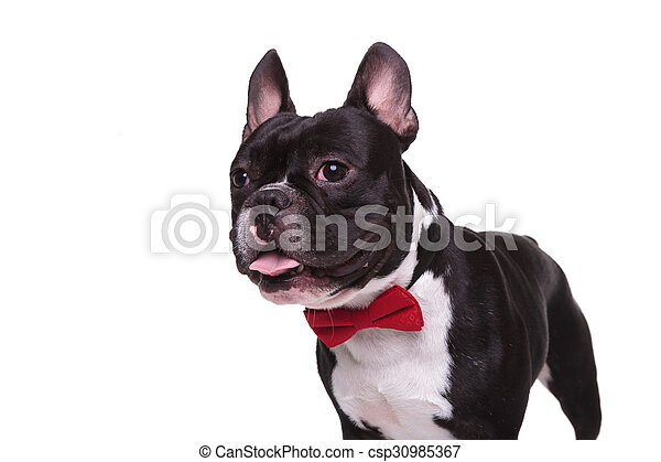 Side Of A Panting French Bulldog Puppy Wearing Bow Tie Isolated On