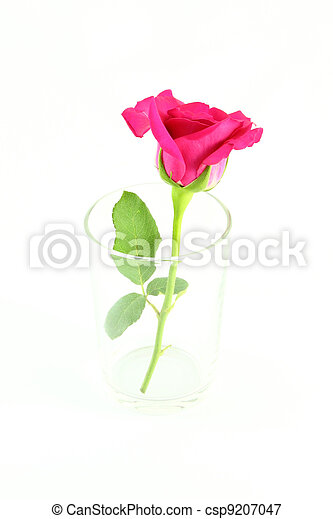 Side of pink rose in glass on white background. - csp9207047