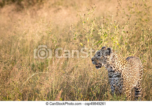 Side profile of a Leopard in the grass. - csp49849261