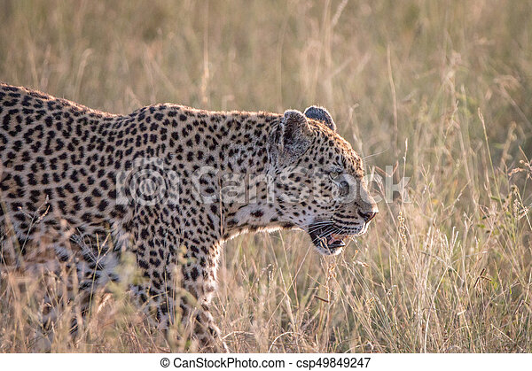 Side profile of a Leopard in the grass. - csp49849247