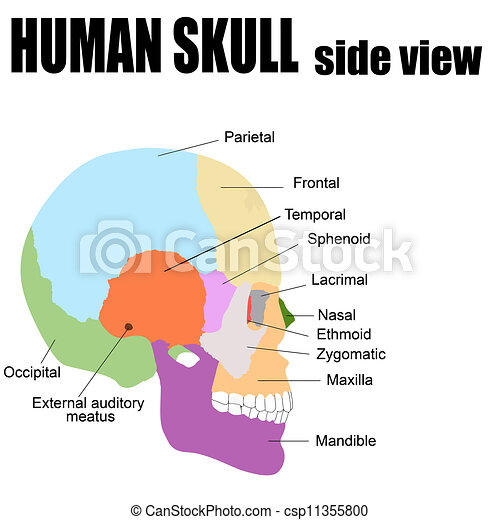 Side view of Human Skull - csp11355800