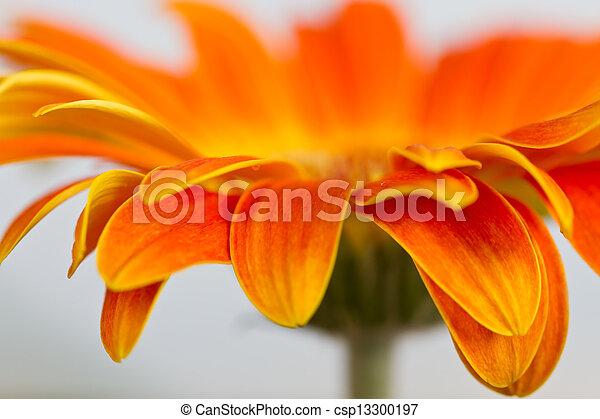 Side view of orange gerbia - csp13300197