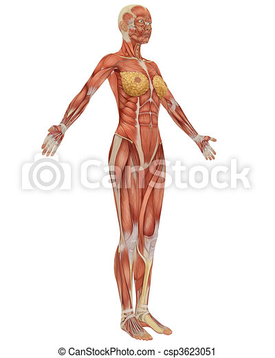 Side View Of The Female Muscular Anatomy Very Educational
