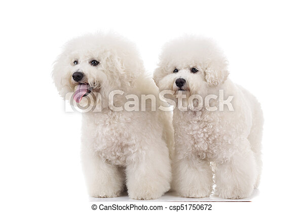 Side View Of Two Panting Bichon Frise Puppies Standing Side View Of