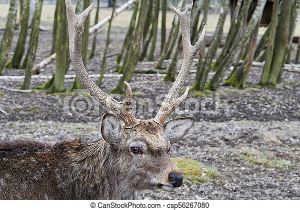 Sika Deer (Cervus nippon dybowskii) - csp56267080