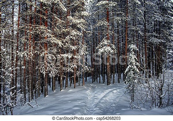 Silence in the coniferous forest. Winter landscape - csp54268203