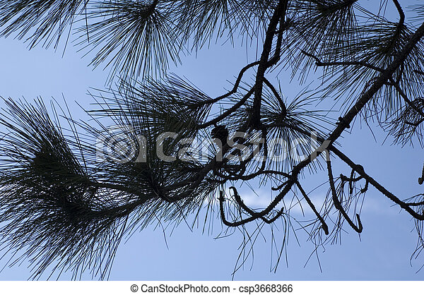 Silhouette of Pine Tree - csp3668366