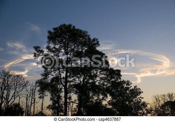 silhouette of pine trees - csp4637887