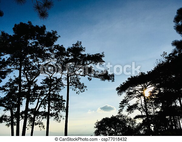 Silhouette of pine trees with sunset light and blue sky - csp77018432
