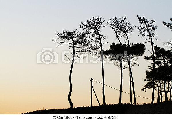 silhouette pine trees - csp7097334