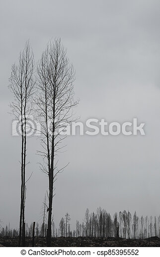 Silhouettes of dead trees after forest fire - csp85395552