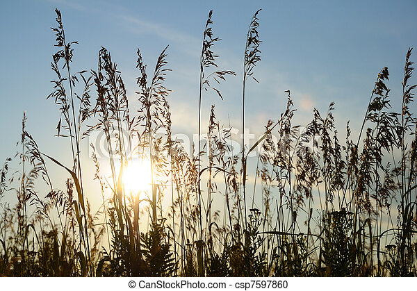 Silhouettes of grass on sunset background - csp7597860
