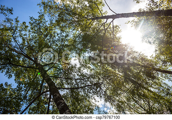 Silhouettes of green birch trees - csp79767100