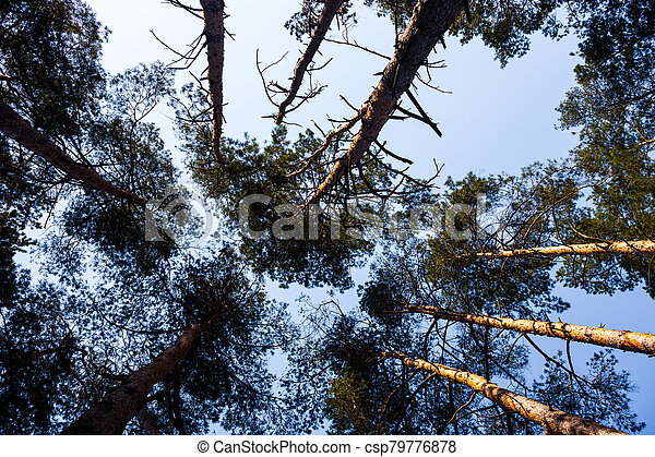 Silhouettes of pine trees - csp79776878