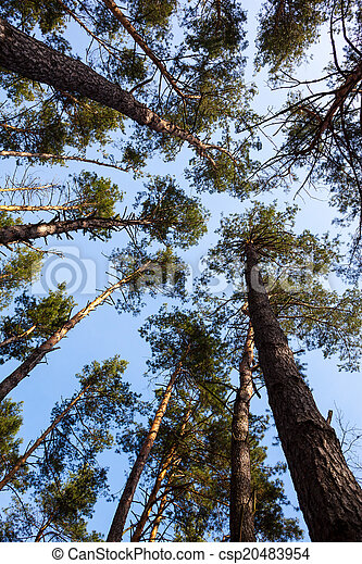 Silhouettes of pine trees - csp20483954