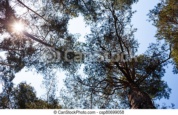 Silhouettes of pine trees - csp80699058
