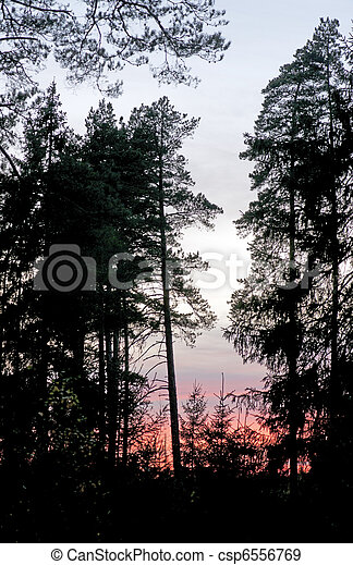 Silhouettes of pine trees - csp6556769