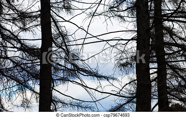 Silhouettes of three coniferous trees - csp79674693