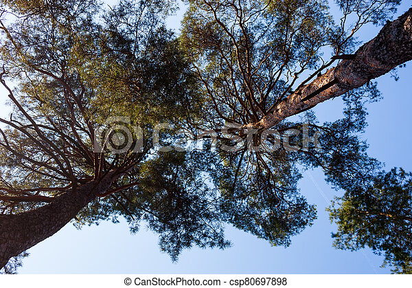 Silhouettes of two pine trees - csp80697898