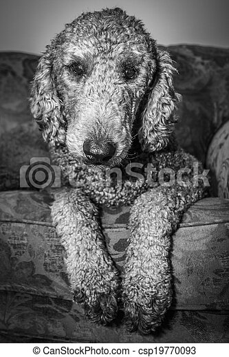 Silver Standard Poodle - Black and White - csp19770093