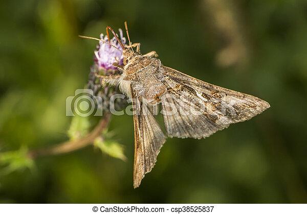 Silver Y moth (Autographa gamma) - csp38525837