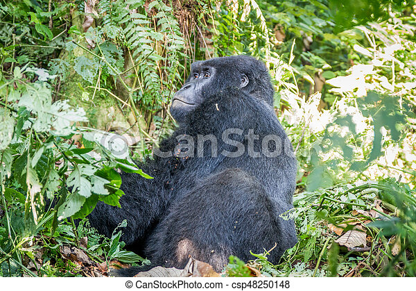 silverback, berg, sitting., gorilla - csp48250148