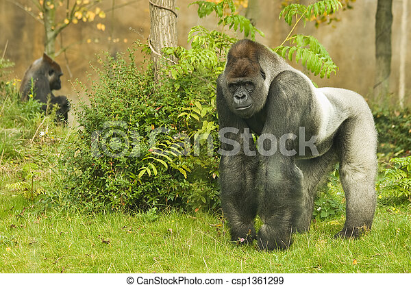Silverback gorilla - csp1361299
