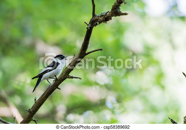 Singing Collared Flycatcher in a bright forest - csp58389692