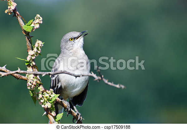 Singing Northern Mockingbird Perched in a Tree - csp17509188