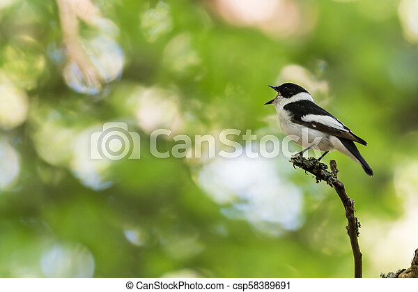 Singing songbird on a twig in a bright forest - csp58389691