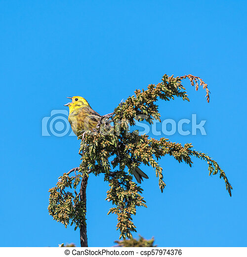 Singing Yellowhammer on a twig - csp57974376