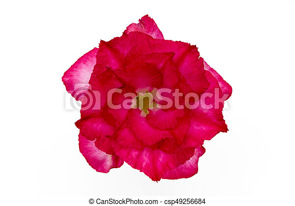 Single azalea flowers isolated on white background - csp49256684