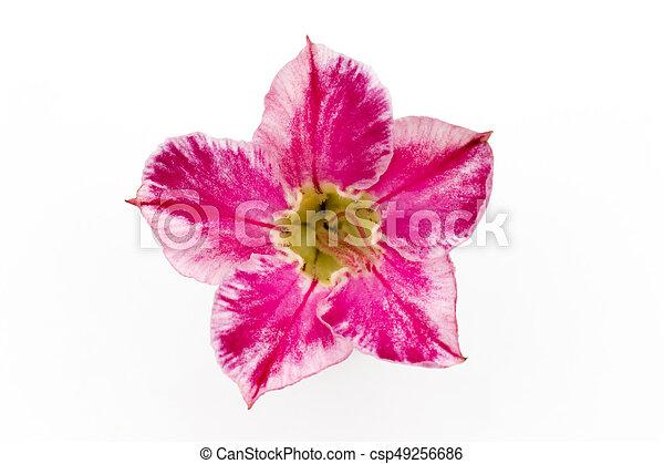 Single azalea flowers isolated on white background - csp49256686