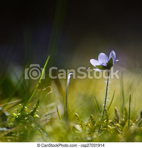 Single backlit Hepatica - csp27031914