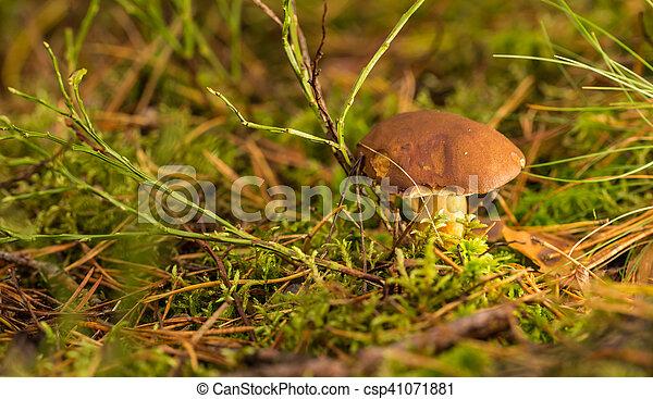 Single brown boletus mushroom in moss - csp41071881