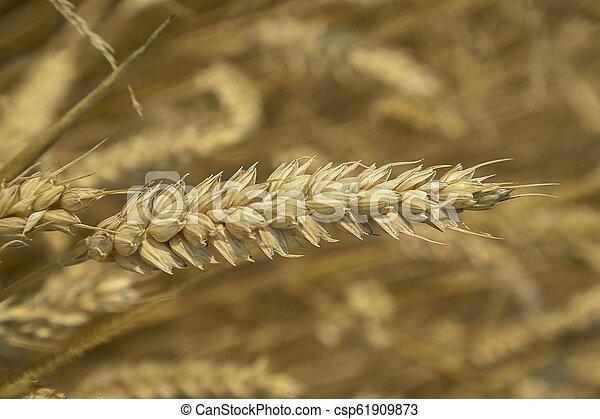 Single ear of ripe barley - csp61909873