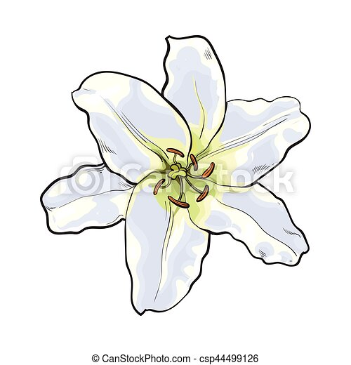 Single hand drawn white lily flower top view vector illustration single hand drawn white lily flower top view vector illustration mightylinksfo