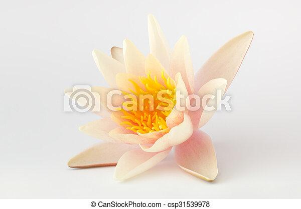 Single lotus flower isolated - csp31539978