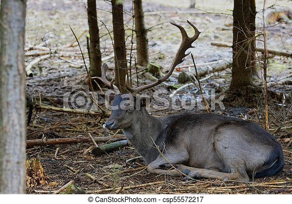 Single male Fallow Deer (Dama Dama) - csp55572217