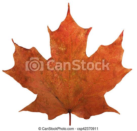 Single Maple Leaf 2 - csp42370911