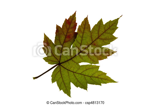 Single Maple Leaf Changing Fall Color - csp4813170