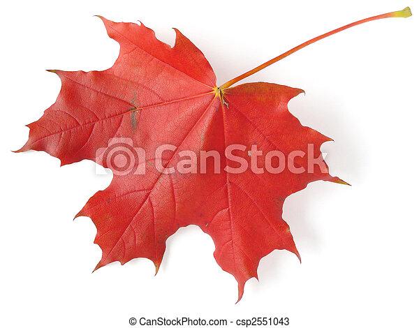 single maple leaf - csp2551043