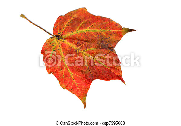 Single Maple Leaf - csp7395663