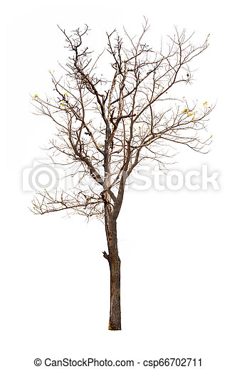 Single old and dead tree isolated on white background - csp66702711