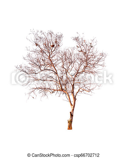 Single old and dead tree isolated on white background - csp66702712