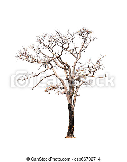 Single old and dead tree isolated on white background - csp66702714