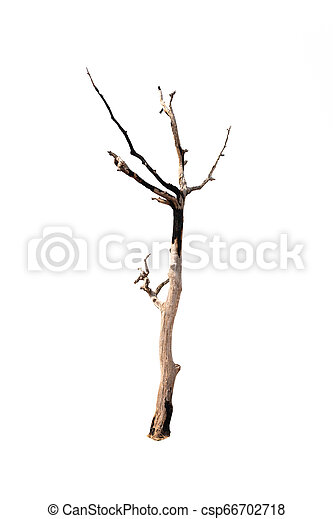 Single old and dead tree isolated on white background - csp66702718